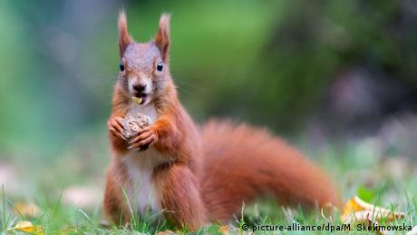 Ein Eichhörnchen hält eine Nuss zwischen den Pfoten (picture-alliance/dpa/M. Skolimowska)