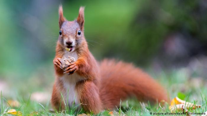 """Wo wir gerade über das """"ch"""" stolpern, hier kommt ein Klassiker in dieser Kategorie: Eichhörnchen. In Kombination mit dem Umlaut """"ö"""" ist das Wort eine echte Herausforderung für Nicht-Muttersprachler. Gott sei Dank kommt es im Gespräch nicht allzu oft vor. Kleiner Trost: In manchen Regionen Deutschlands können die Menschen das """"ch"""" auch nicht aussprechen ...es klingt dann eher wie """"sch""""."""