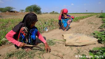 Two Yemenis harvesting fodder