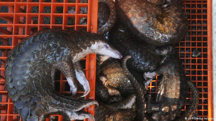 Pangolins killed for the medical market, confiscated by police in Indonesia