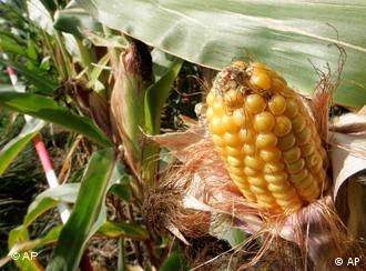 A gene-altered corn cob in Froehstockheim, central Germany