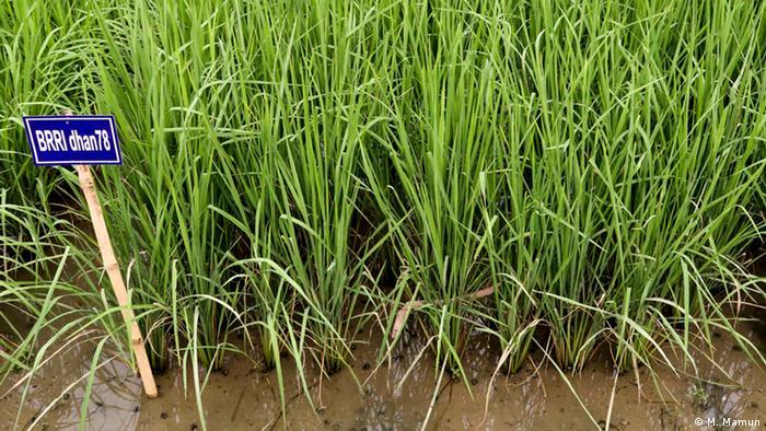 Bangladesch - Reis (M. Mamun)