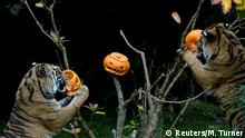 Bildergalerie Halloween im Zoo London 2017 | Sumatra-Tiger
