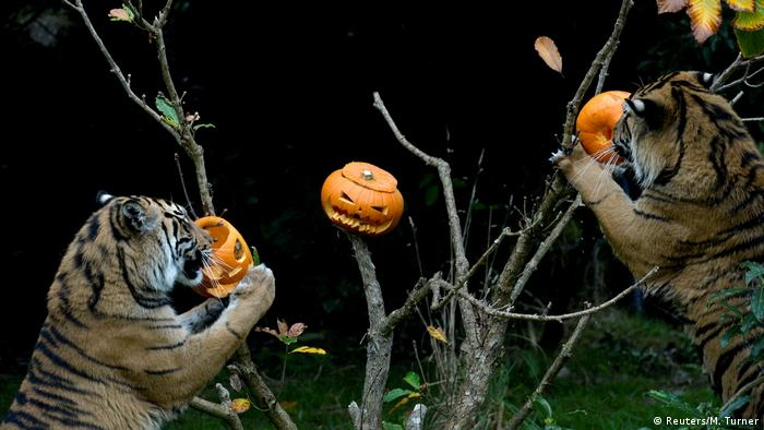 Two Sumatran tigers examine jack-o'-lanterns perched in a shrub tree at the London Zoo.
