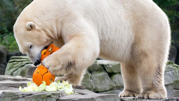Polar bear bites into a jack-o'-lantern at the Hannover Zoo.