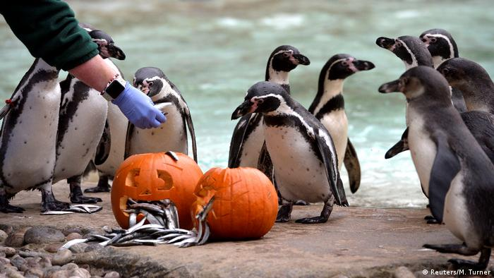 A group of Humbolt penguins stand around a pair jack-o'-lanterns at the London Zoo.