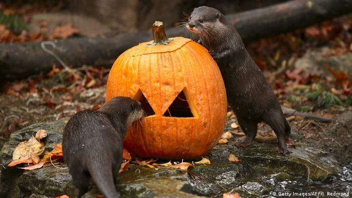 A pair of Asian otters examine a jack-o'-lantern