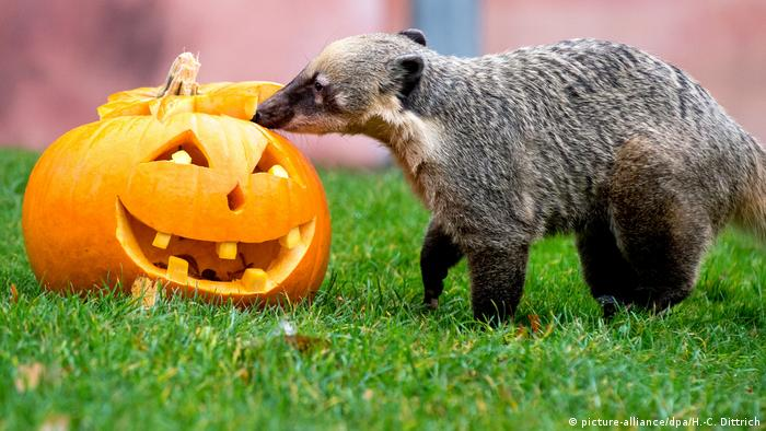 A mongoose sniffs at a jack-o'-lantern in the Hannover Zoo.