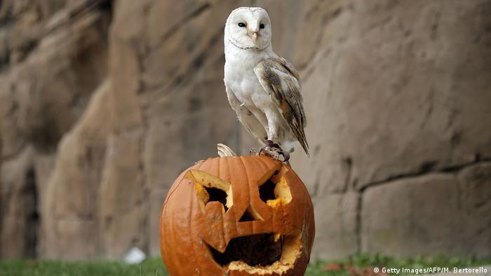 A white barn owl stands atop a jack-o'-lantern at the Torino Zoo