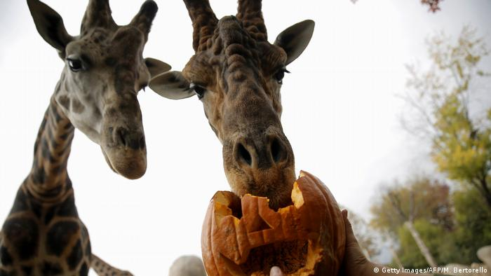 One giraffe bites into a jack-o'-lantern at the Torino Zoo in northern Italy, as another appears to watch wistfully.