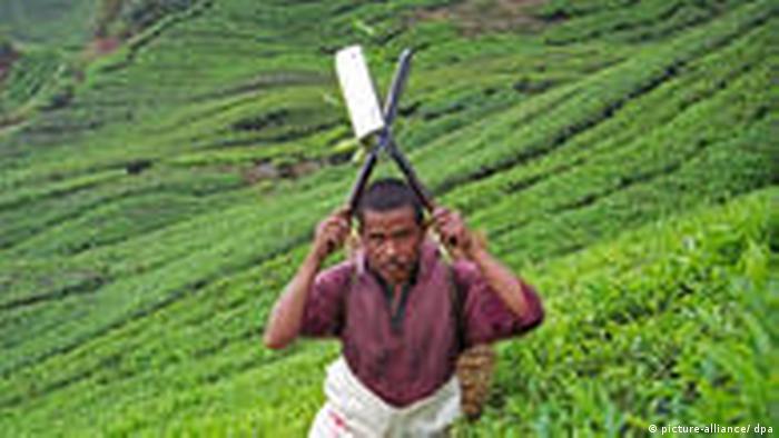 Teepflücker an der Arbeit, Cameron Highlands, Malaysia. Der Teepflücker ist Gastarbeiter von Indonesien (picture-alliance/ dpa)