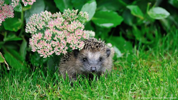 Wildlife Conservation Research - A hedgehog peers out from beneath some flowers in the grass.