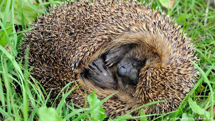 Igel (picture-alliance/R. Bernhardt)