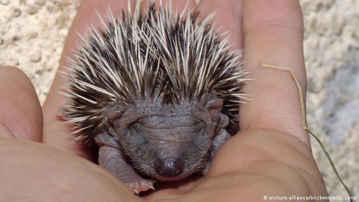 Igel (picture-alliance/blickwinkel/L. Lenz)