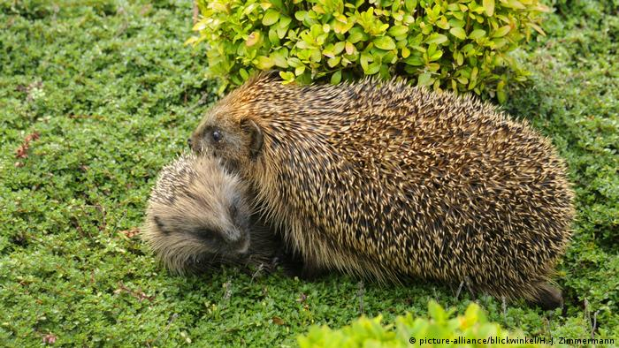 Igel (picture-alliance/blickwinkel/H.-J. Zimmermann)