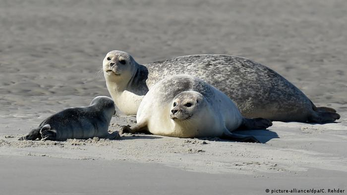 Тюлени на острове Пельворм