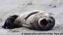 Seehund, Phoca vitulina, harbor seal, common seal