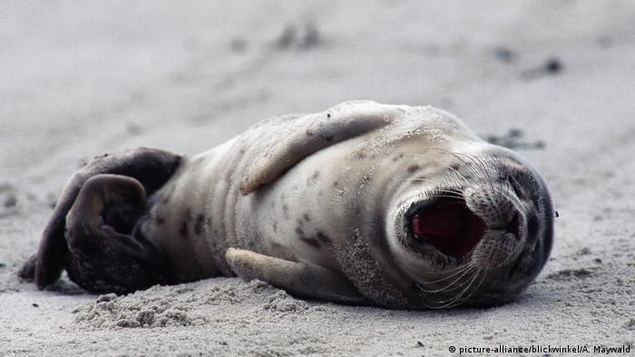 Seehund, Phoca vitulina, harbor seal, common seal (picture-alliance/blickwinkel/A. Maywald)