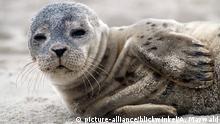 Seehund, Phoca vitulina, harbor seal, common seal (picture-alliance/blickwinkel/A. Maywald)