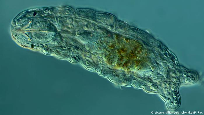 image of tardigrades