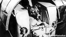 At the beginning of November, Sputnik II carrying the dog passenger Layka (bottom) shown here in her special passenger compartment, was launched and successfully put into orbit round the earth. So far as is known the huge half-ton artificial satellite is still circling the earth. |
