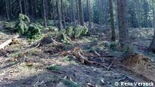 Thema Wald Rumänien Illegal abgeholzter Wald Ghimes Faget Ostrumänien