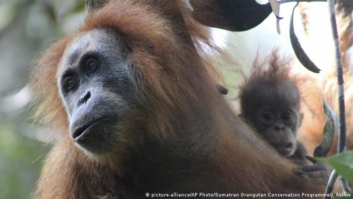 Neue Orangutang Spezies (picture-alliance/AP Photo/Sumatran Orangutan Conservation Programme/J. Askew)