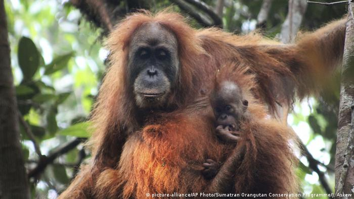 Indonesien - Neue Orangutang Spezies entdeckt (picture-alliance/AP Photo/Sumatran Orangutan Conservation Programme/J. Askew)