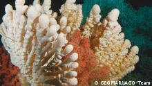 Cold water corals in the Mediterranean affected by ocean acidification (GEOMAR/JAGO-Team)