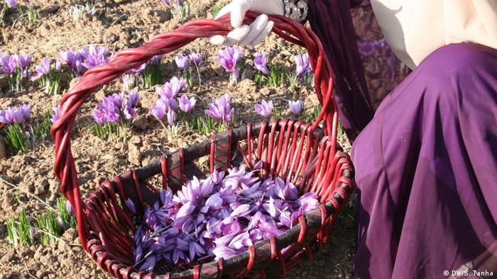 Afghanistan Herat - Safran Farm (DW/S. Tanha)