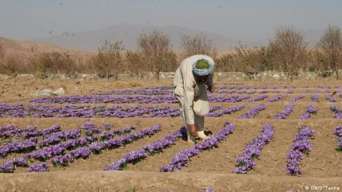 Afghanistan Herat - Safran Farm