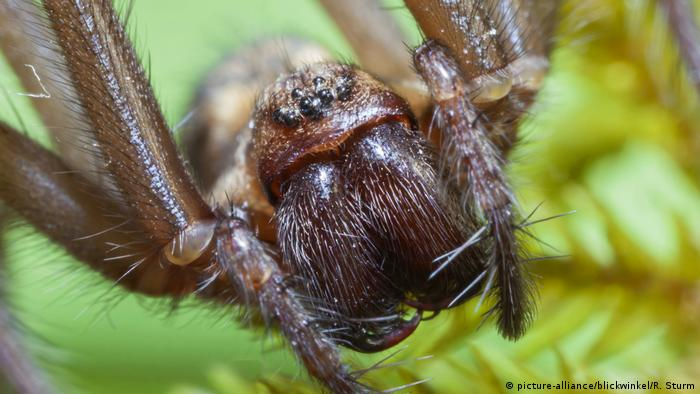 Giant house spider (picture-alliance/blickwinkel/R. Sturm)