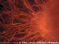 خلية جذعية بشرية
