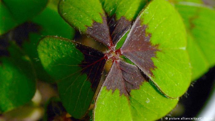 A green four-leaf clover up close