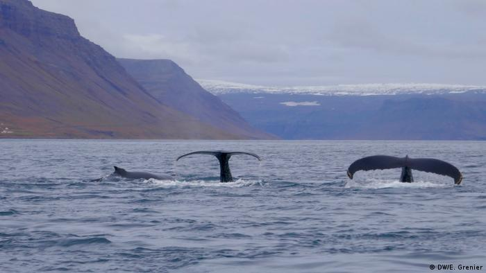 Whales in Iceland (DW/E. Grenier)