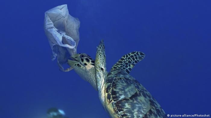 Hawksbill sea turtle trying to eat a plastic bag