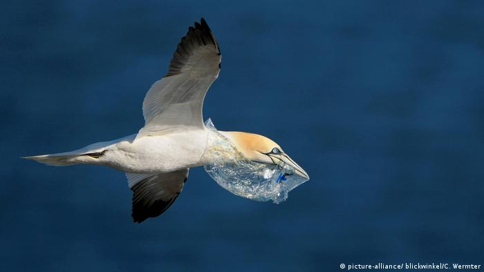 Gannet flying with plastic in mouth