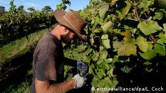 Luigi Cavallo, a seasonal worker from Italy harvests shiraz grapes at The Wallaroo vineyard outside Canberra, Australia, 02 April 2014