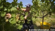 Australien Ernte Riesling Weintrauben bei Canberra