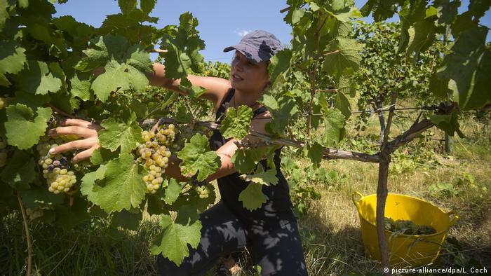 Student picking grapes in Australia (picture-alliance/dpa/L. Coch)