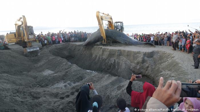 dead sperm whale is buried in Ujong Kareung Beach, Aceh Beasr, Aceh Province, Indonesi