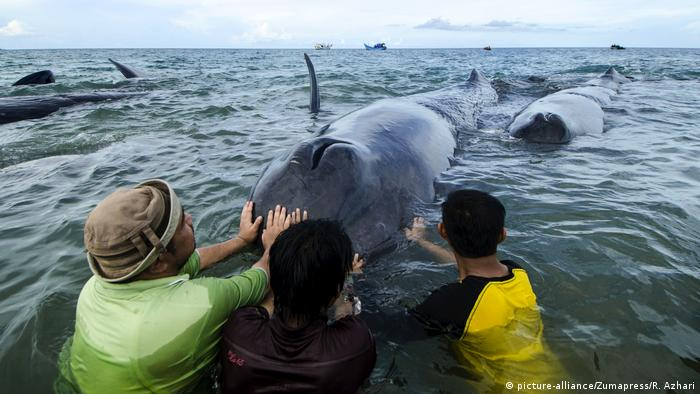 Rescuers are trying to push sperm whales back into the sea