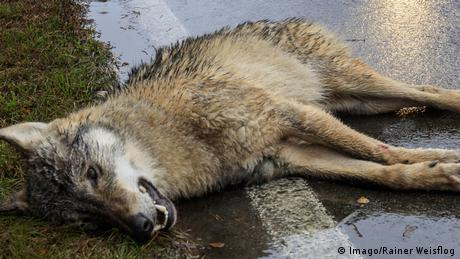 A wolf lying down