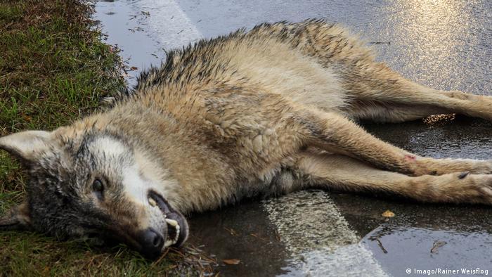 A wolf lying down