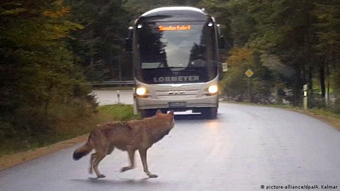 A wolf on a road in front of a bus