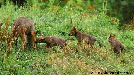 Baby wolves play in the grass