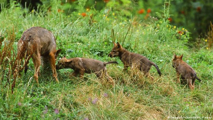 Four baby wolves play in the grass