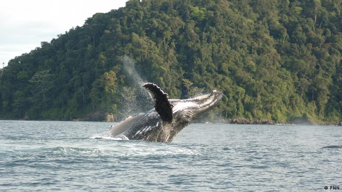 Whale sighting in Gorgona National Natural Park (PNN)