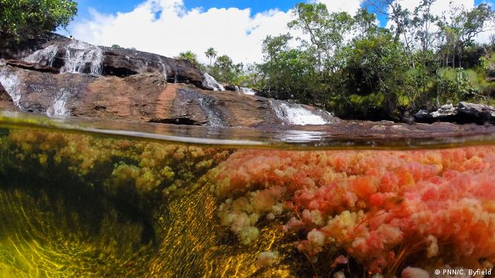Aquatic plants of Cano Cristales river in the National Park La Macarena in Colombia (PNN/C. Byfield)
