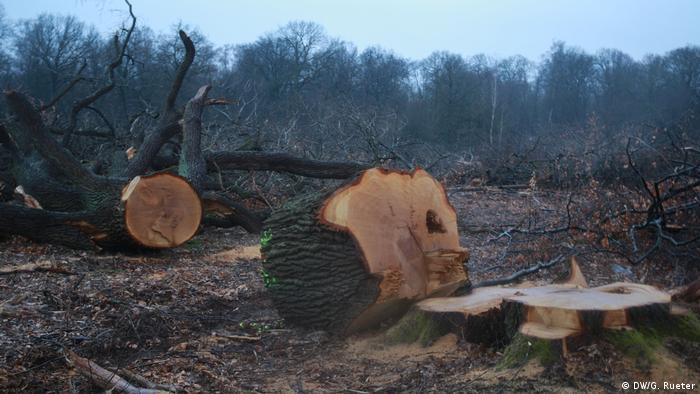 Ekolodzy przegrali z koncernem energetycznym RWE - domagali się wstrzymania wycinki lasu Hambach